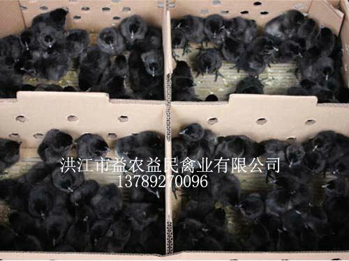 黑羽雪峰山猫直播体育苗