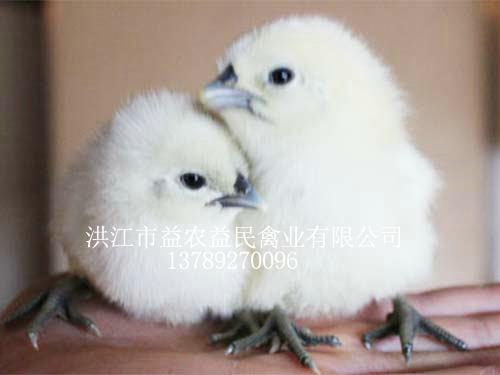 白羽雪峰山猫直播体育苗