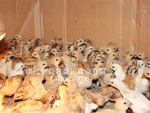 山猫直播体育种鸡