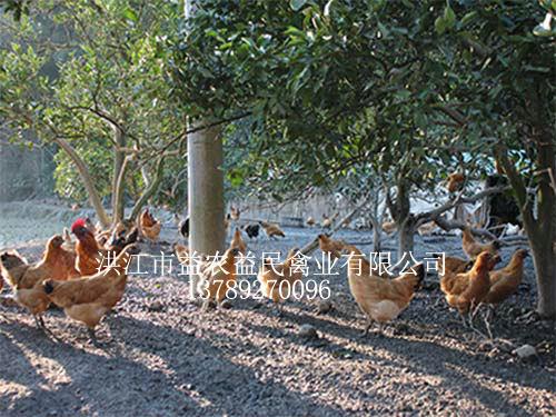 山猫直播体育种鸡场
