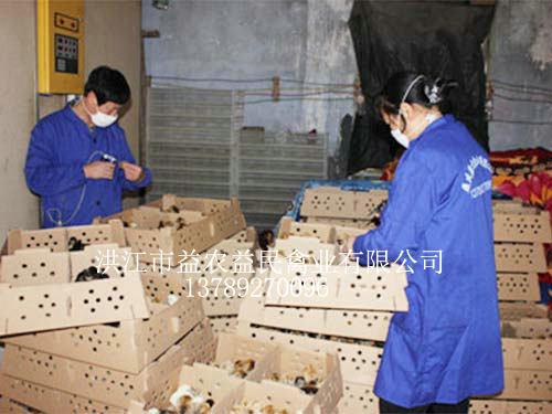 公司员工正在孵化车间给鸡苗注射马立克疫苗