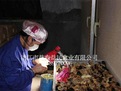孵化人员正在为刚出壳的鸡苗进行公母鉴别,为养殖户提供优质的鸡苗