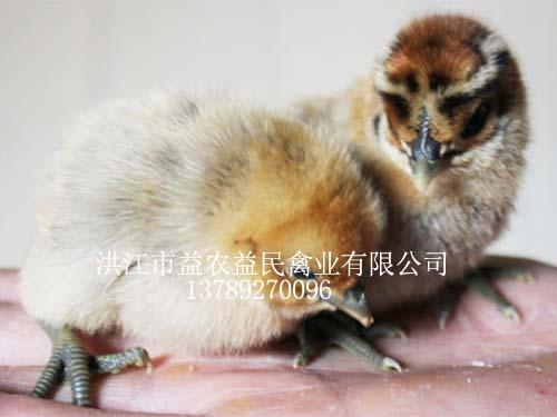 麻羽雪峰山猫直播体育苗